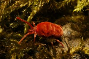 Red Velvet Mite VIII Fullframe by webcruiser
