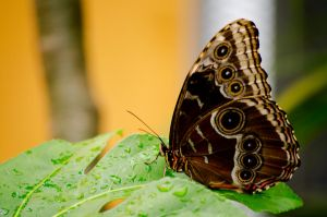 Peleides Blue Morpho by Cinestress