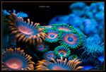 Coral by Canonnewbe