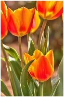 tulips in our garden by bibamus-pd