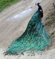 Zoo Montana Peacock 19 by Falln-Stock