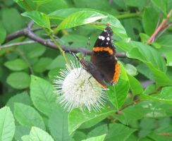 Red Admiral Butterfly on Buttonbush 9a by Windthin
