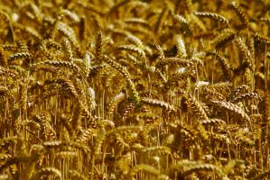 Golden Wheat by kizer29