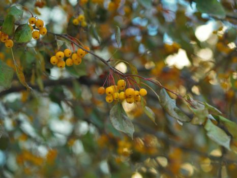 Yellow Berries (2) by Anastab