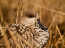 Marbled Teal 01 - Mar 12 by mszafran