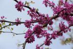 April in Washington DC by LauraBriskinLimehous