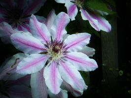 Amazing Pink and white Flowers by dananaboo