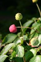 wild raspberry by j-trogen