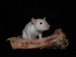 like a rat with a bone by Itchys-rats