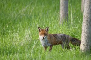 fox 2 by mk-thommo