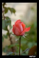 ROSE 2 by mufash