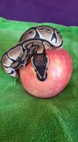 Python with apple 03 by MelieMelusine