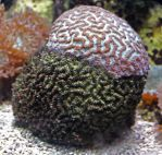 Reef 08: Brain Coral by fuguestock