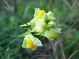 Linaria Flower by ansteystock