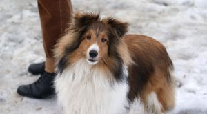 Sheltie by Vertor