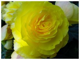 YellowBegonia by AllyCat1994