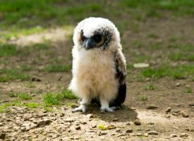 Fluffy Owl by dark-angel-11309