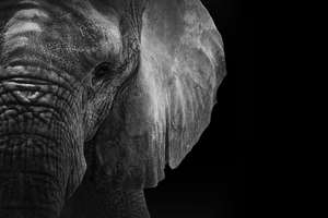 Elephant by ryanbaker