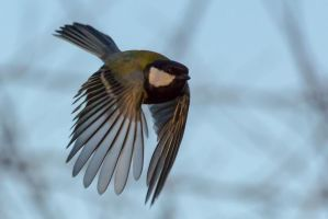 Great Tit in flight by WojciechGrzyb