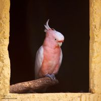 Cacatua leadbeateri by too-much4you