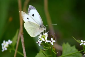 White butterfly by Alex-Br