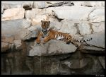 Many rocks and a tiger by Lunchi