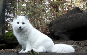 Arctic Fox II by Track-Maidens