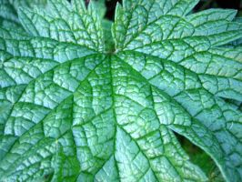 Mint Leaves by Holly6669666