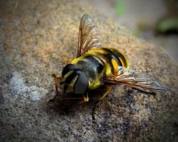 Hoverfly by AstarothSquirrel