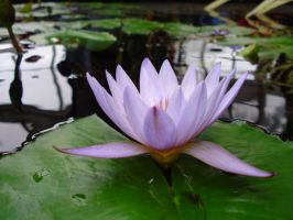 Water Lilly by Monkpengossum