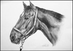 Drawing-Czech warmblood by Ennete