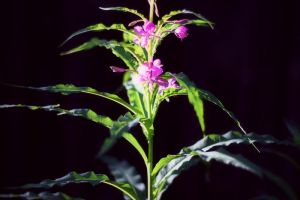 portrait of fireweed by miss-gardener