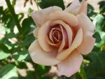 beige rose by Lucy3DS