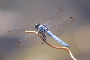Dassia dragonfly August 2014 5 5 by melrissbrook