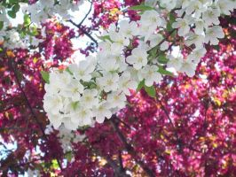 White and Pink Blossoms by whatsername57