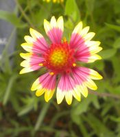 Indian Blanket Wildflower by Faroreswind159