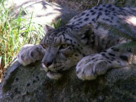 Snow Leopard by Joello