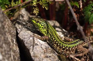 Italian wall lizard by Very-Free-Stock
