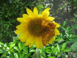 Butterfly on Sunflower by MayEbony