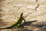 Iguana on my land by tatsNorz