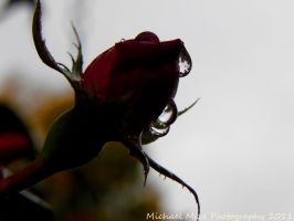 Raindrops on a Rose by Famous-Panda