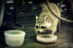Raccoon Eating by PhotographicCrypto