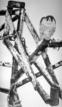 Peregrine falcon..graphite drawing by alanwoollett