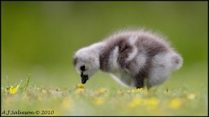 Gosling by andy-j-s