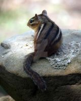 Eastern Chipmunk 07 by GhostInThePines