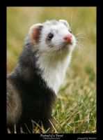 Ferret by Metatetron-photos by FuzzyFerretAlliance