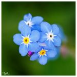 forget-me-not VI by PajonK