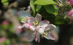 Apple Blossom 2 WP by wuestenbrand