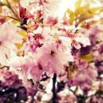 Cherry Blossoms .2 by totalizzyness