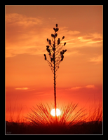 Yucca Sunset III by SunSpriteRaven